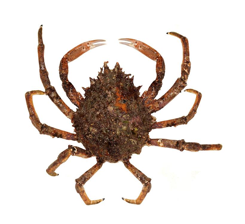 Common Spider Crab - Maia squinado