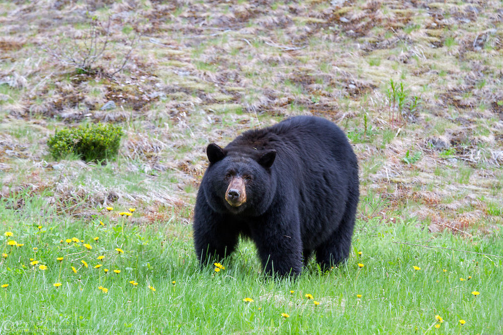 A Black Bear (Ursus americanus) along the Crowsnest Highway in E C Manning Provincial Park, British Columbia, Canada