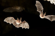 Two townsend's big-eared bats (Corynorhinus townsendii) exit a cave while a third flies in the background in the Derrick Cave complex, a series of lava tubes and lava bubbles. Dusk. Central Oregon.