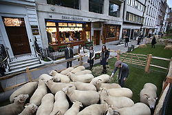 © Licensed to London News Pictures. 05/10/2015. London, UK. Apprentices launch Wool Week 2015 as Savile Row is transformed with sheep and grass.  Photo credit: Peter Macdiarmid/LNP