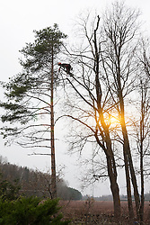 Tree surgeon. Arborist cutting trees. Climbing on branch. Sun.