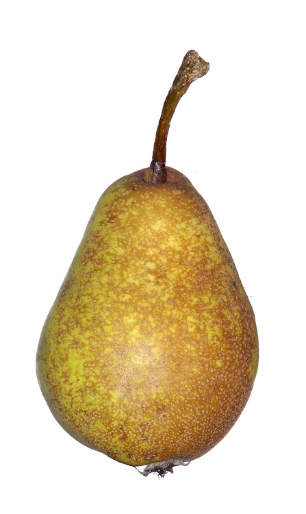 Common Pear (Cultivated Pear) Pyrus communis (Rosaceae) HEIGHT to 20m. A normally upright and slender deciduous tree with a stout bole and a dense framework unless pruned. BARK Dark-brown and breaking up into small square plates. BRANCHES Ascending in young trees, but becoming more spreading in older specimens; some branches may bear a few spines. Young twigs are reddish-brown and sparsely hairy, but they become smoother with age. LEAVES Up to 8cm long, and usually oval to elliptic in shape, but there is always some variation; the margins have numerous small teeth, and the leaves are smooth and almost glossy when mature. REPRODUCTIVE PARTS The flowers are pure white and open before the leaves have fully expanded, typically two to four weeks earlier and cultivated apples flower in the same location. A pear orchard is a spectacular sight on a sunny spring day. The pear-shaped fruits may be up to 12cm long, with a soft, but slightly gritty, sweet-tasting flesh. STATUS AND DISTRIBUTION A native of western Asia originally, but cultivated for millennia and now widespread across Europe, including Britain and Ireland