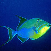 Queen Triggerfish inhabit coral reefs, adjacent areas of rubble and seagrass in Tropical West Atlantic; picture taken Utila, Honduras.