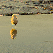 We spent several days on Cape Ann in Gloucester, MA.  Our motel was on the beach making these sunrise shots very accessible.  This gull is just standing, enjoying the start of a beautiful day.  This shot as a wonderful reflection that enhances the morning golden light.  The bird seems to be looking at his reflection!