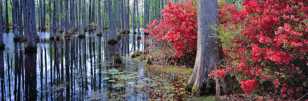 Red azaleas and pond lilies grow at Cypress Gardens, Charleston, South Carolina.