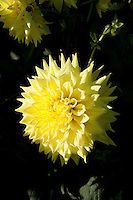Yellow Dahlia flowers, Janal Amy variety,  growing in an Irish garden