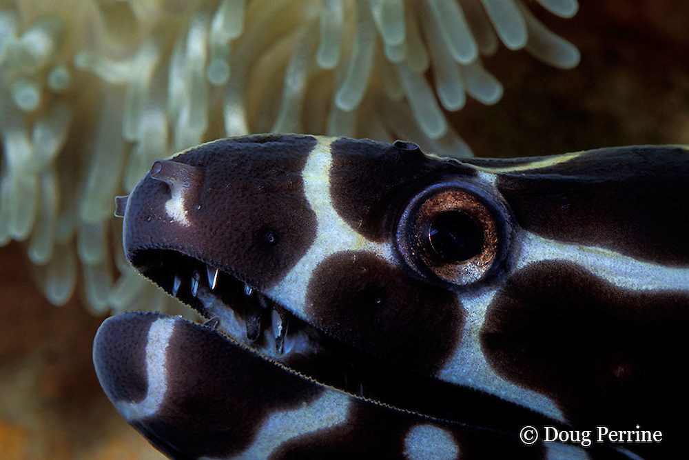 honeycomb, laced or reticulated moray eel, Gymnothorax favagineus, Similan Islands, Thailand ( Andaman Sea, Indian Ocean )