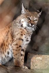 03 July 2006:   Lynx, a cat that consists of 4 different species of medium sized wild cats