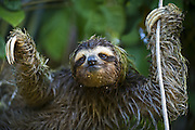 Brown-throated Three-toed Sloth <br /> Bradypus variegatus<br /> Male (covered in algae) <br /> Limon, Costa Rica
