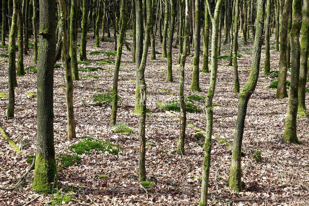 densely planted young trees during early spring season Netherlands