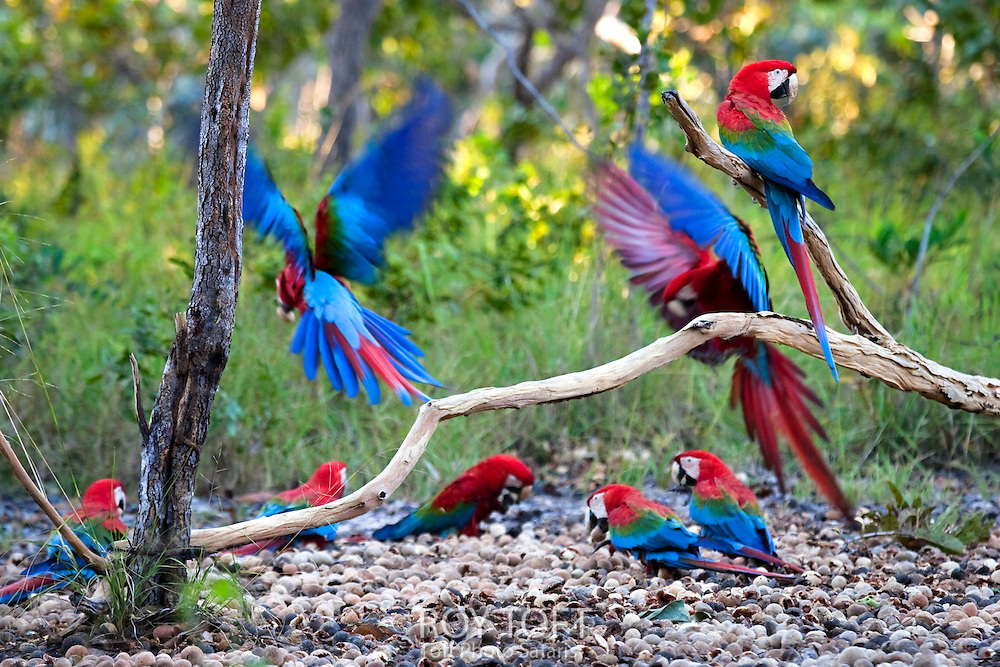 Flock of red and green macaws (green-winged macaws), Brazil.