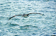 Brown Pelican flying over water, Galapagos Islands.