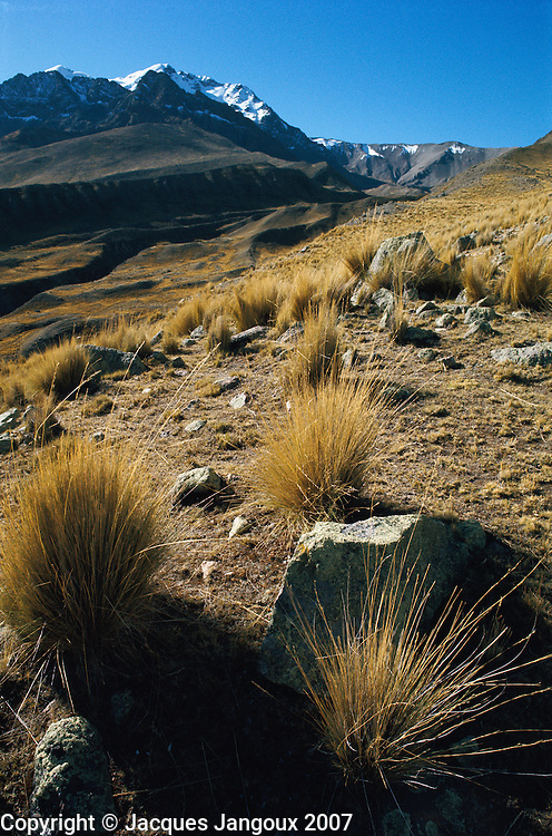 Puna vegetation, high altitude grasslands in the andes, Peru.