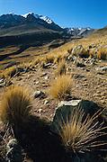 Puna vegetation, high altitude grasslands in the andes, Peru.