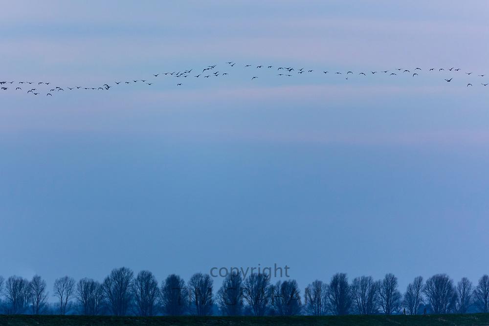 Wild goose chase - large lflock of Brent Geese, Branta bernicla, migratory birds in flight over wetlands in North Norfolk, UK