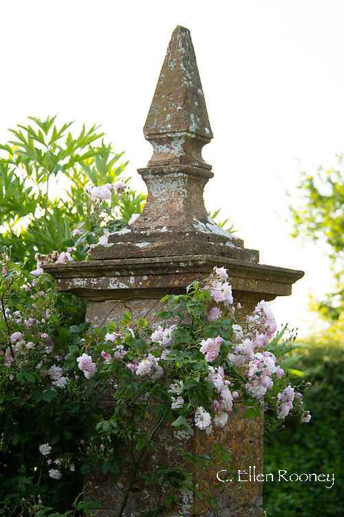 Rosa 'Blush Noisette' a pale pink climbing rose on a stone pillar at Lower Severalls Farmhouse,  Crewkerne, Somerset, UK