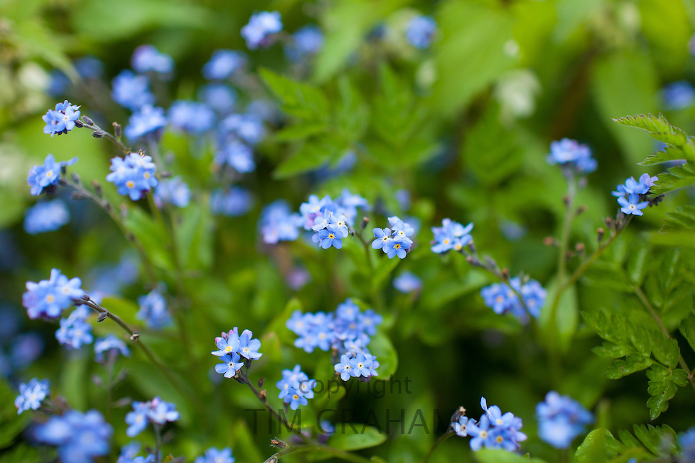Forget-Me-Not, Myosotis arvensis, spring wildflowers in the Cotswolds, Oxfordshire, UK
