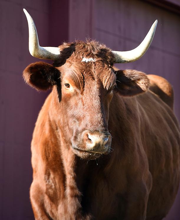 Photo by Mara Lavitt<br /> December 3, 2015 <br /> Nancy Kalal's bovines.