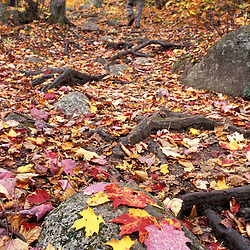 Hiking the Sugarloaf Trail.  Sugar Maple leaves. White Mountain National Forest.  Fall. Twin Mountain, NH