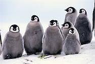 Emperor penguin chicks, Aptenodytes forsteri, Antarctica