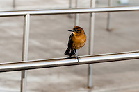 US, Florida. Female Boat-tailed Grackle at John F. Kennedy Space Center.