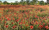 Indian Blanket, (Gaillardia pulchella), Llano County, Texas