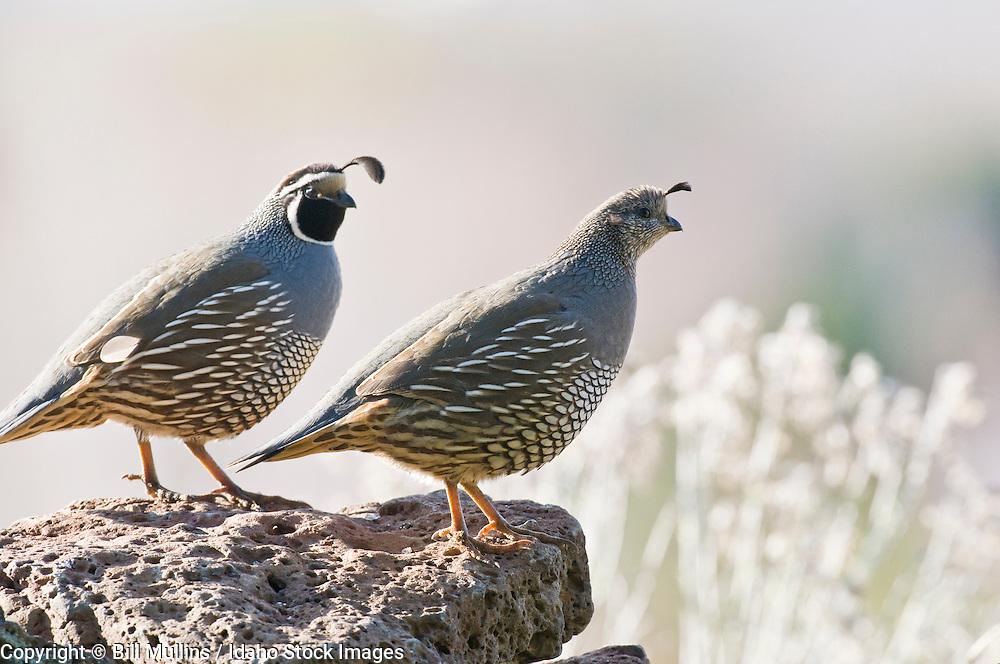 California quail pair (Callipepla californica)