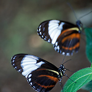 Pair of Heliconius cydno Butterflies in Costa Rica
