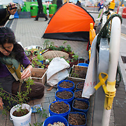 A woman tends to plants in pots outside Central Government Offices.  The movement demands universal suffrage in Hong Kong with direct elections of the Chief Executive. The police have cleared the streets of protesters living in tents but a handfull of tents have been allowed to stay outside the Government building.