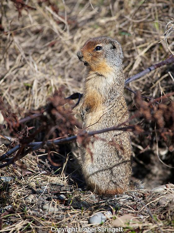 Columbian ground squirrel. Spermophilus columbianus, Courtenay, British Columbia, canada,