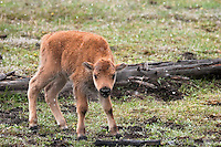 Baby Bison Calf, Yellowstone National Park, Wyoming