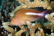 Arc-eye Hawkfish (Paracirrhites arcatus)<br />