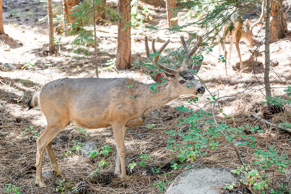 """Mule Deer in Tahoe Donner"""