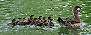 Baby ducks follow their parent in the lagoon at the Zablocki VA Medical center Friday afternoon. J