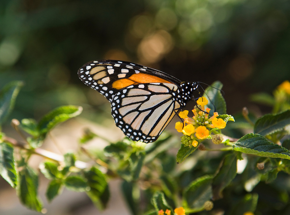 A Monarch Butterfly feeding from flowers, Phoenix, Arizona, USA.