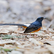 The white-rumped shama (Copsychus malabaricus) is a small passerine bird of the family Muscicapidae. Native to densely vegetated habitats in the Indian subcontinent and Southeast Asia.