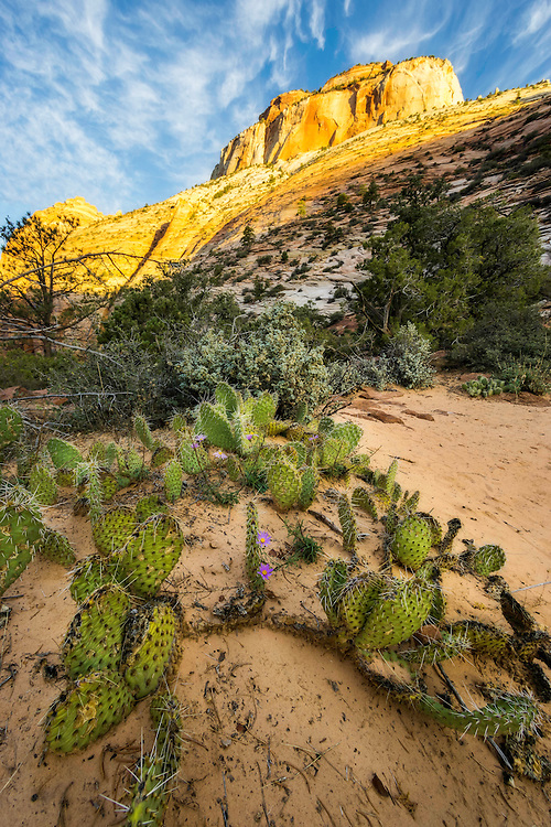 Cactus are found throughout the desert Southwest and especially in the deserts of Zion National Park in Southern Utah. A cool Fall sunrise illuminates the surrounding sandstone peaks in front of the cactus growing from the sanding ground.
