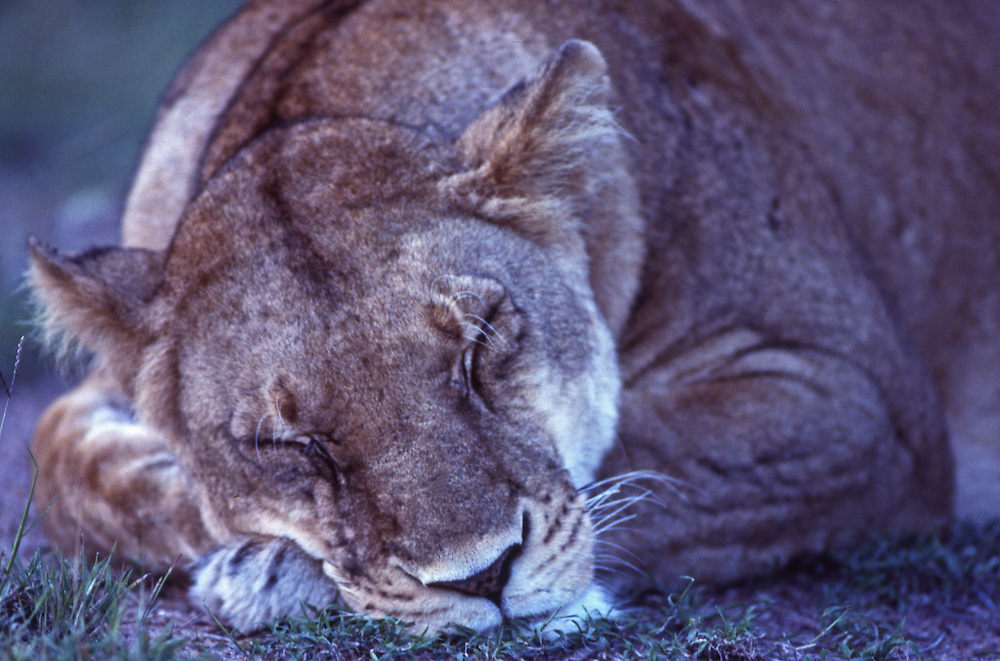 African wildlife, sleeping lioness, in Maasai Mara, Kenya, appears to me cuddly cat