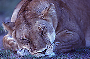 African wildlife, sleeping lioness, in Maasai Mara, Kenya, appears to me cuddly cat