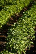 Basil plants in garden rows.  Farm or vegetable garden.