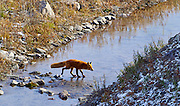 A red fox crosses a stream in the Brooks Range at Gates of the Arctic NP