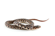 Blotched Water Snake (Nerodia erythrogaster transversa) - juvenile<br /> TEXAS: Williamson Co.<br /> Brushy Creek along Brushy Creek Trail<br /> Cedar Park<br /> 19-Oct-2014<br /> J.C. Abbott &amp; K.K. Abbott