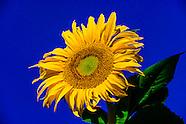 USA-Colorado-Denver-Sunflowers