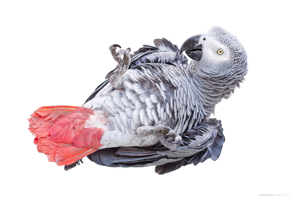 Congo African Grey (Psittacus erithacus). Babu showing off his soft belly.