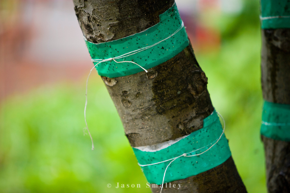 gummed tape to protect an apple tree from pests