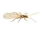 Stonefly (Isoperla sp.)<br /> MONTANA: Flathead Co.<br /> Rocky Mountain Hi Campground; Evergreen<br /> 23-25.July.2012  48.25122, -114.25171<br /> J.C. Abbott #2618 &amp; K.K. Abbott