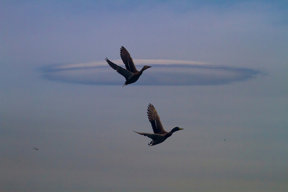 A very strange cloud formation, looking a bit like a flying saucer, as two mallards fly by.