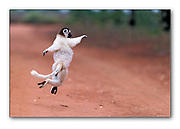 Verreaux's sifaka crossing a road in Berenty Reserve, Madagascar,  with it's special dancing motions. Nikon D5, 300mm f4, EV+0.33, 1/2500 sec, ISO1250, aperture priority