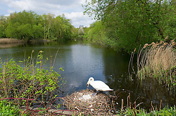 On the warmest day of the year a female mute swan on Hampstead Heath, London stands guard over her eggs, Monday 06 May, 2013, Photo by:  i-Images