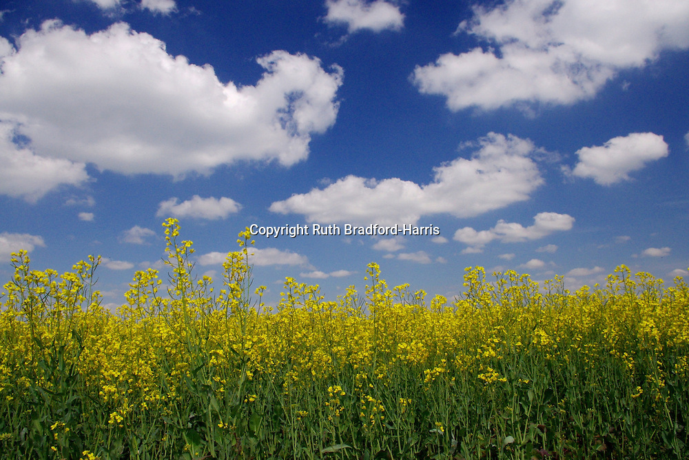 A horizon of striking golden oilseed rape flowers against a deep blue Summer sky near Holt, Wiltshire.<br />